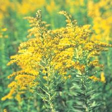 ragweed allergy